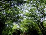 09_鎌倉天園(六国峠)の新緑を進むDSCF2360 (150x113)