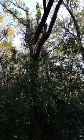 中割れの樹木